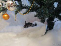 Как шиншилы переживают зиму?
